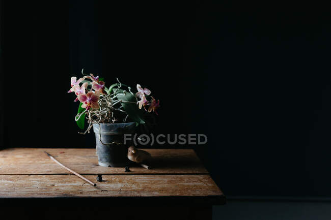 Zusammensetzung natürlicher Blumen, die im Topf auf einem schäbigen Holztisch im dunklen Raum wachsen — Stockfoto