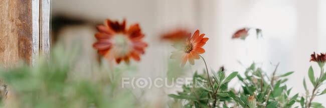 Свіжі червоні квітучі квіти, що ростуть у керамічному горщику біля дому в сонячний день влітку. — стокове фото