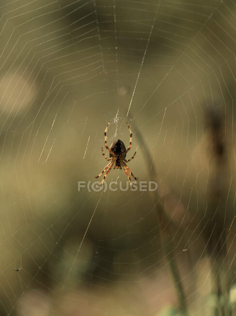 Closeup of spotted spider weaving web during summer day on green field — Stock Photo