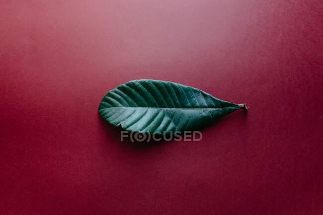 Vista superior de la hoja verde fresca del árbol nispero colocado en la superficie de color rojo oscuro que ilustra el concepto de la naturaleza - foto de stock