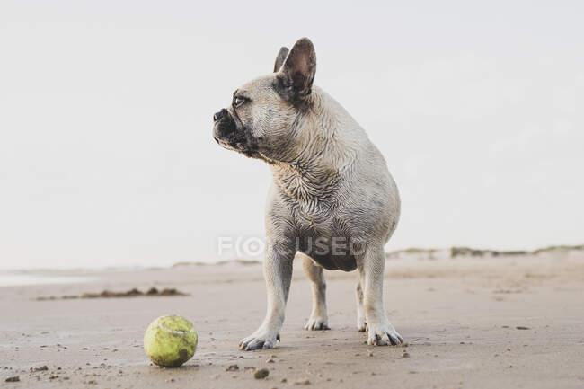 Милая домашняя собака с теннисным мячом на мокром песке на берегу моря и смотрит в сторону — стоковое фото