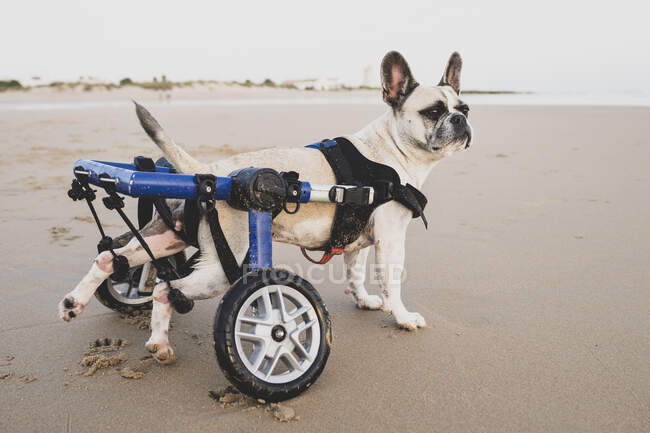 Side view of calm dog using wheelchair standing on wet sand near water on coastline and looking away — Stock Photo