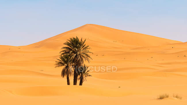 Magnificent scenery of green palms growing in oasis of desert on background of sand dunes in Morocco — Stock Photo