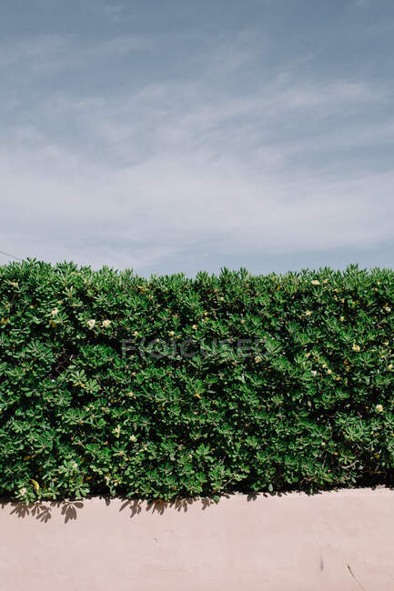 Green fence of bushes growing on city street in summer on background of blue sky — Stock Photo