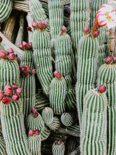 Background of green prickly cactuses with sharp thorns and blooming flower while growing near brick wall building outside during daytime — Stock Photo
