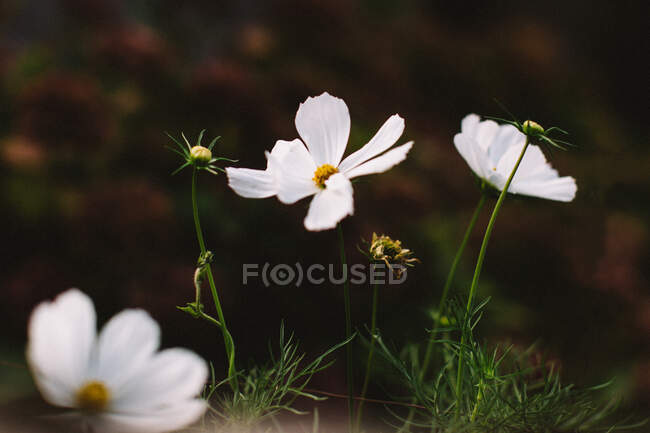 Closeup of fragile blossoming flowers with white petals and yellow center growing near green plants in garden in summer — Stock Photo