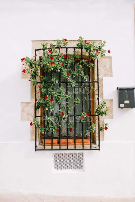 Haus mit weiß getünchter Wand mit eingezäuntem Fenster und Topfpflanzen mit rot blühenden Blumen, die an Sommertagen im Sonnenlicht wachsen — Stockfoto