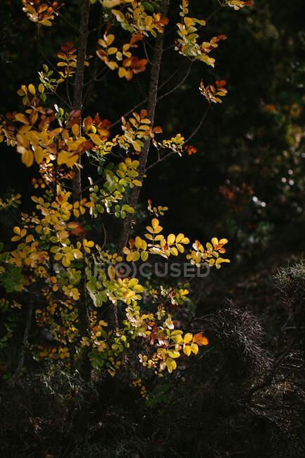 Gran rama arbórea con pequeñas hojas doradas y rojas que crecen sobre el árbol verde en otoño por la tarde en un bosque tranquilo. - foto de stock