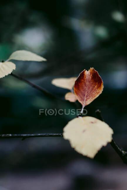 Gros plan de la branche de l'arbre avec de fines feuilles pâles et brunes pointues avec des nervures sur la surface poussant dans un parc calme en automne — Photo de stock