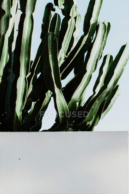 Зеленый кактус с высокими колючими стволами и ребристой поверхностью растет рядом, в то время как бетонная стена днем под безоблачным небом на улице — стоковое фото