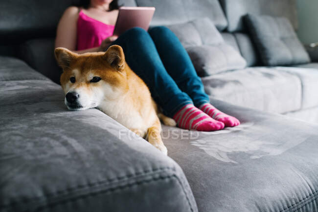 Cropped unrecognizable female in casual outfit surfing tablet while sitting on cozy plush couch with and hugging cute Shiba Inu dog during free time at weekend day in cozy living room — Stock Photo