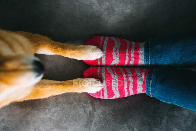 From above of unrecognizable female dog owner in jeans and striped socks sitting on cozy plush sofa and cute Shiba Inu dog standing with front paws on couch — Stock Photo