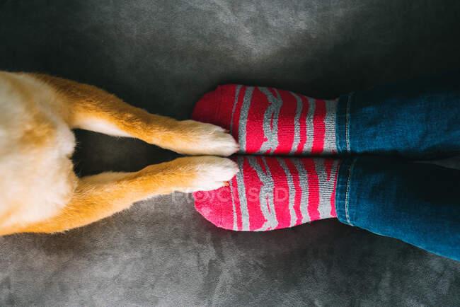 Von oben eine unkenntliche Hundebesitzerin in Jeans und gestreiften Socken, die auf einem gemütlichen Plüschsofa sitzt und ein niedlicher Shiba Inu Hund, der mit Vorderpfoten auf der Couch steht — Stockfoto