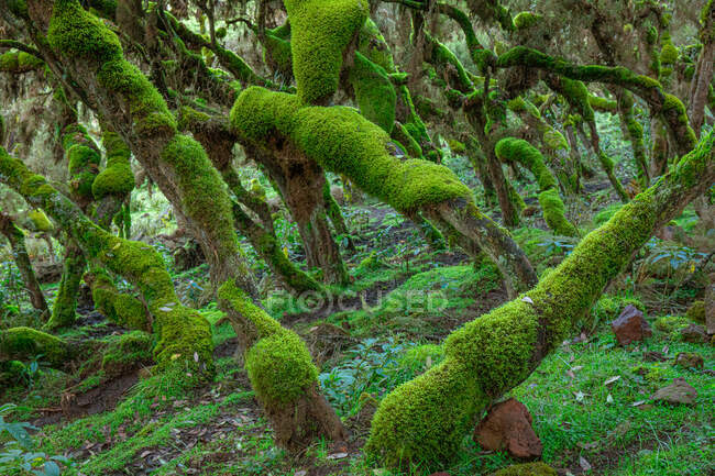 Picturesque landscape of forest with curved tree trunks covered with green moss — Stock Photo