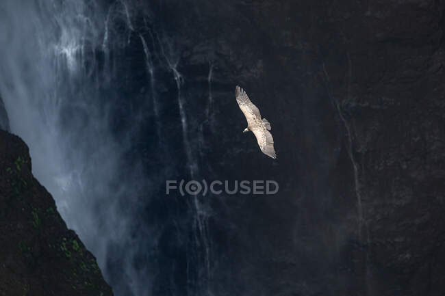 From above of spectacular scenery of wild vulture soaring over rocky cliff and waterfall — Stock Photo