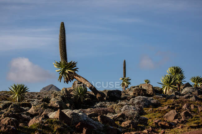 Giant lobelia trees with lush foliage growing on rocky terrain on background of stormy sky in Africa — Stock Photo