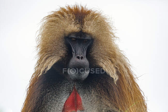 Gelada baboon in Ethiopia, Africa — Stock Photo