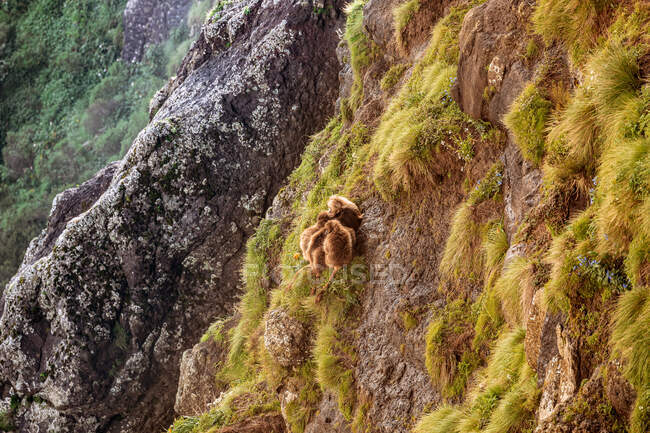 From above of gelada monkeys sitting on rocky slope covered with green grass — Stock Photo
