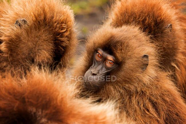 Глибокі морди густої групи бабуїнів гелади, які скупчуються в природному середовищі в Ефіопії (Африка). — стокове фото