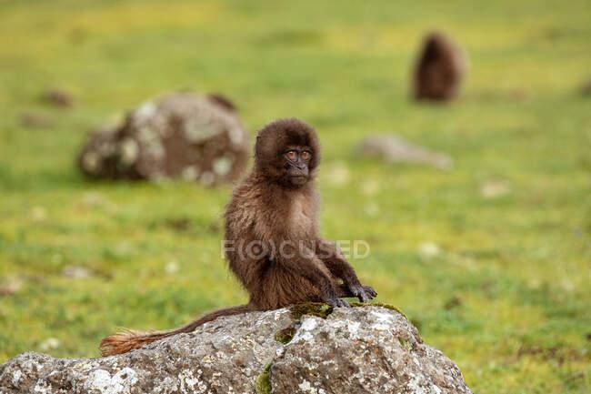 Дитина бабуїн сидить на моховій скелі і дивиться на камеру в похмурий день в Ефіопії (Африка). — стокове фото