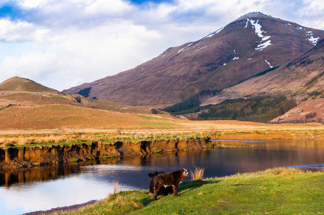 Picturesque countryside landscape with cows grazing on green grass near calm river against mountain in sunny spring day in Scottish Highlands — Stock Photo