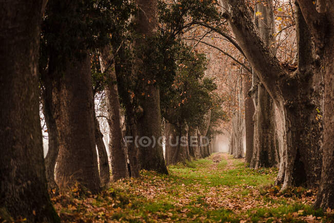 Perspective view of calm foggy alley among aged tall trees with fallen leaves in Aranjuez — Stock Photo
