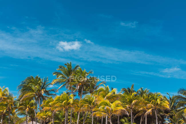 Green palms against blue cloudy sky in Mexico — Stock Photo