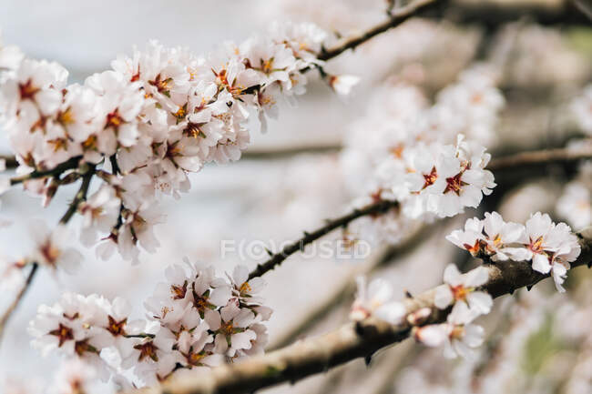 Blooming cherry trees growing on hilly terrain in spring day in Spanish countryside — Stock Photo