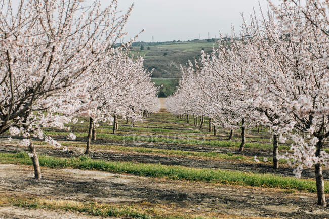 Rows of blooming cherry trees growing on hilly terrain in spring day in Spanish countryside — Stock Photo