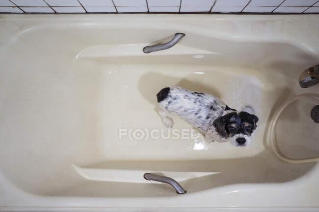 Cute húmedo Cocker Spaniel cachorro de pie en la bañera - foto de stock
