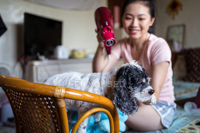 Happy ethnic female owner drying fur of obedient calm Cocker Spaniel puppy with hair dryer after bathing while sitting in cozy room at home — Stock Photo