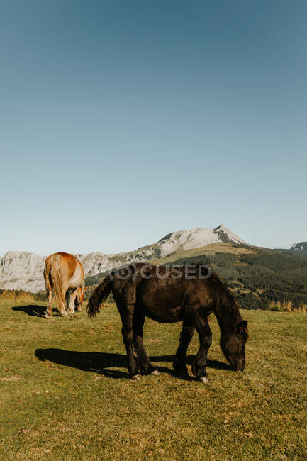 Brown and black stallions grazing in green pasture near trees on hillside and mount in afternoon in natural park — Stock Photo