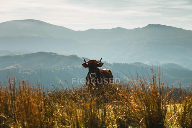 Grande mucca marrone pascolo in campo con alta erba dorata vicino al monte coperto di alberi nel pomeriggio nel parco naturale — Foto stock