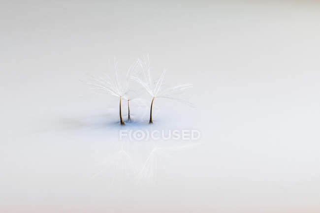 Closeup of lightweight pappus of dandelion in soft cold light with reflection on mirror surface background — Stock Photo