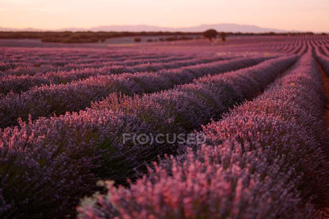 Perspektivisch duftende blaue Lavendelblüten blühen am frühen Abend auf einem riesigen Feld in friedlichem Sommerland — Stockfoto