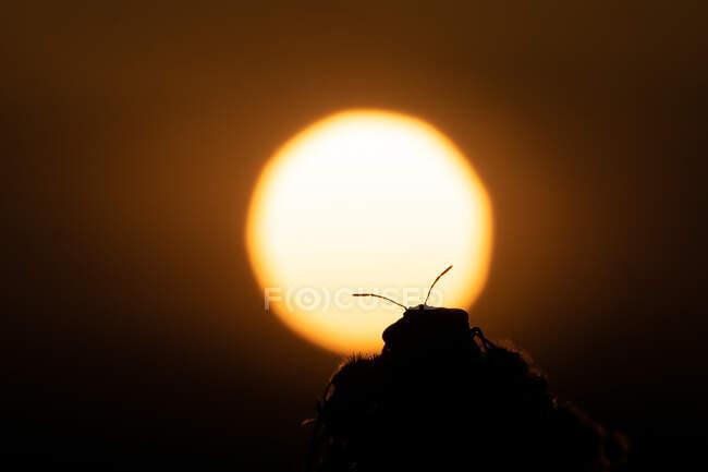Silhouette di uno scarabeo al tramonto con il sole sullo sfondo — Foto stock