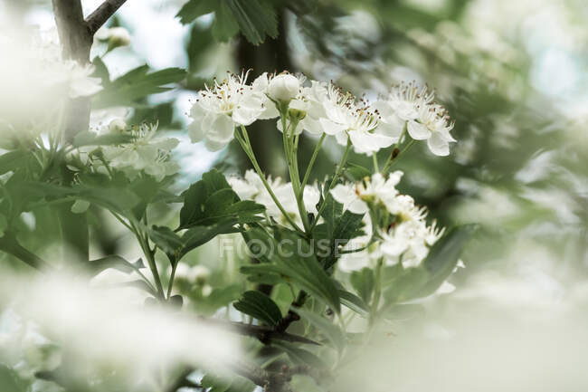 Common hawthorn (Crataegus monogyna) white flowers in spring with a moody style — Stock Photo