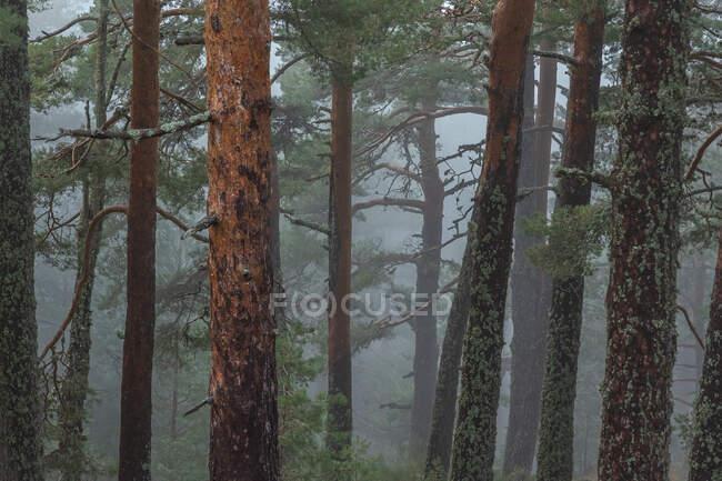 Árboles cubiertos de musgo verde creciendo en bosques en día brumoso en el Parque Nacional Sierra de Guadarrama - foto de stock