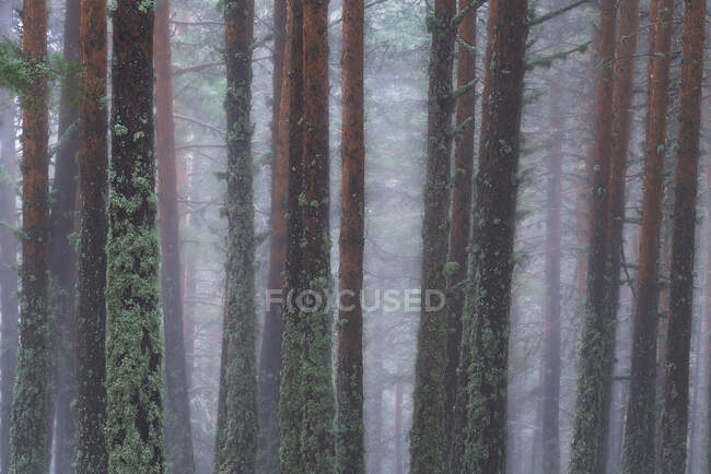 Árboles cubiertos de musgo verde creciendo en bosques en día brumoso en el Parque Nacional Sierra de Guadarrama — Stock Photo