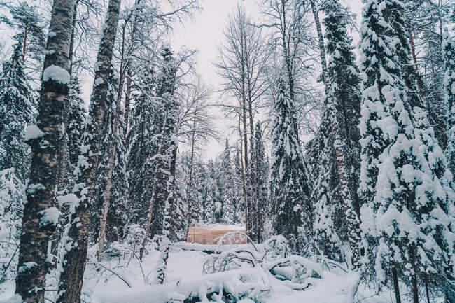 Sentier enneigé menant à travers les conifères poussant dans les bois par temps nuageux en hiver — Photo de stock