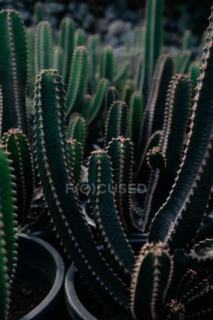 Desde arriba de cactus espinosos con tallos espinosos creciendo en macetas en jardín botánico - foto de stock