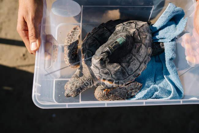 З верху врожаю анонімний стояв з пластиковою коробкою з черепахами з відстежувальним пристроєм, приготованим для випуску. — стокове фото