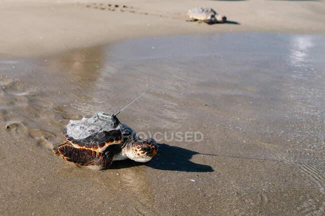 У сонячний день черепах на піщаному узбережжі видали на карапас. — стокове фото