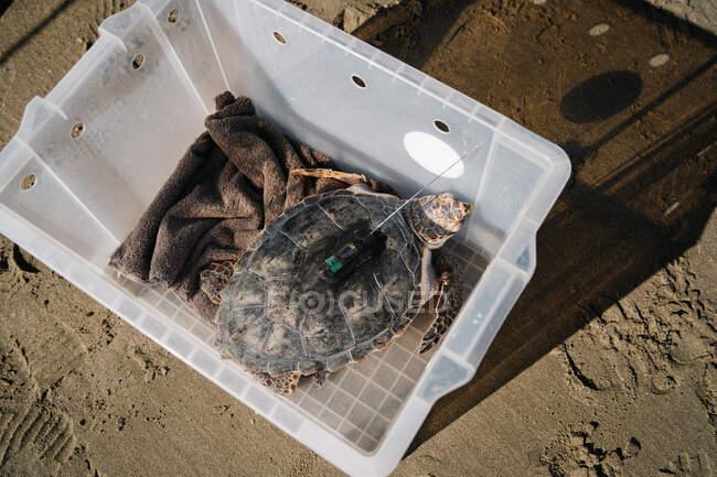 Зверху дика маленька черепаха з відстежувальним пристроєм на карапасі, що сидить у пластиковій коробці на березі. — стокове фото