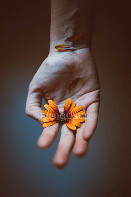 Crop anonymous person with bright blossoming African daisy with tender petals on hand on gray background — Stock Photo
