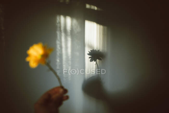 Crop unrecognizable person showing blooming yellow flower on thin stalk against shadows in house — Stock Photo