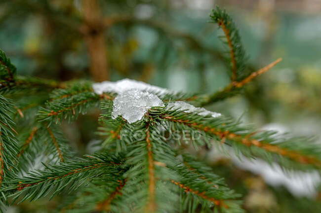 Branch of spruce with thin needles with melting snow in forest in winter day — Stock Photo