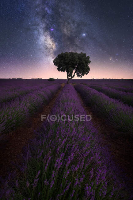 Spectacular view of starry night sky over lonely tree growing in purple lavender field — Stock Photo