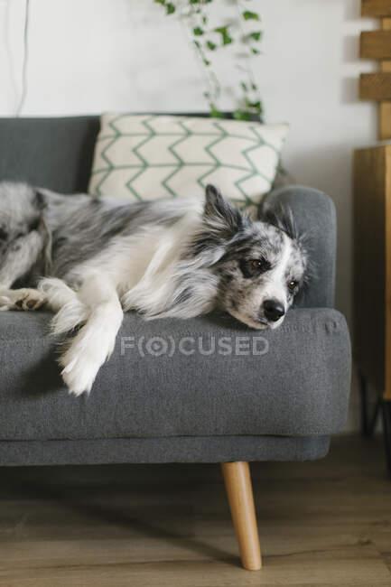 Милая пушистая колли границы с серым и белым мехом лежал на диване в гостиной с деревянными полками на размытом фоне — стоковое фото