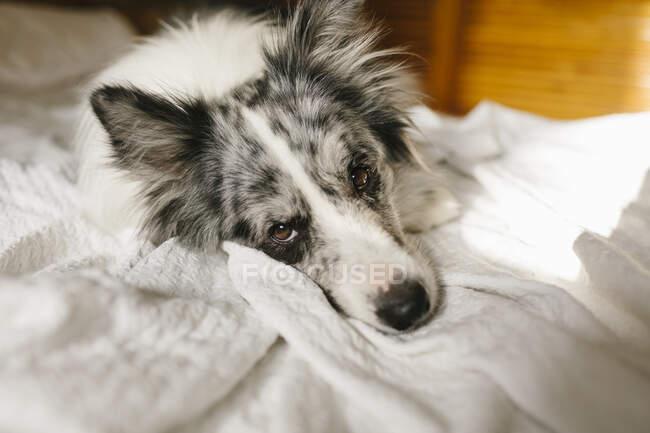 Fluffy frontera collie perro acostado bajo edredón blanco en la cama con almohada en el dormitorio en casa - foto de stock